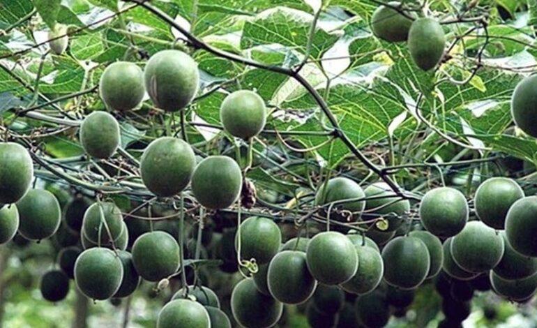 भारत में पहली बार 'मॉन्क फल' की खेती